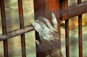 10265056-mono-encarcelado